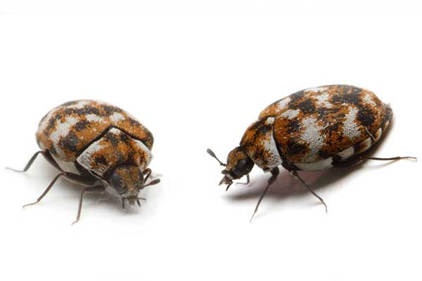 carpet beetle exterminators pest control company portland oregon vancouver washington