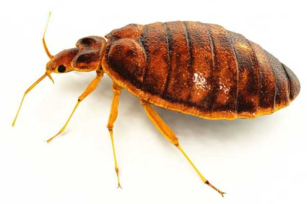 Bed Bug extermination pest control portland oregon vancouver washington