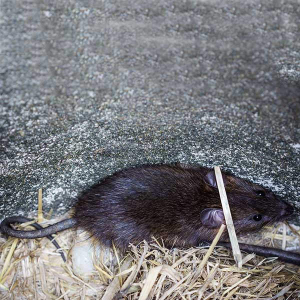 Norway Rats Pest Control Rodent Removal Portland Wa