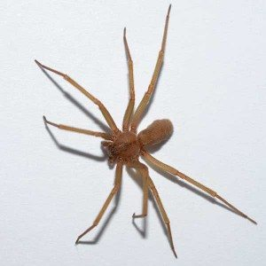brown recluse spiders in Portland Longview Vancouver Washington WA