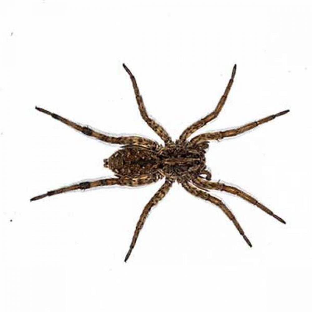 Wolf Spider Bite - Pictures, Symptoms, Causes