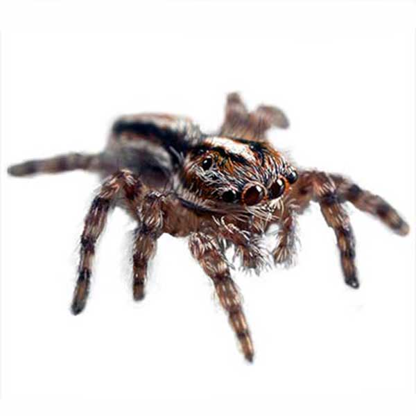 Jumping Spiders | Pioneer Pest Management | Pest Control ... Jumping Spider Web