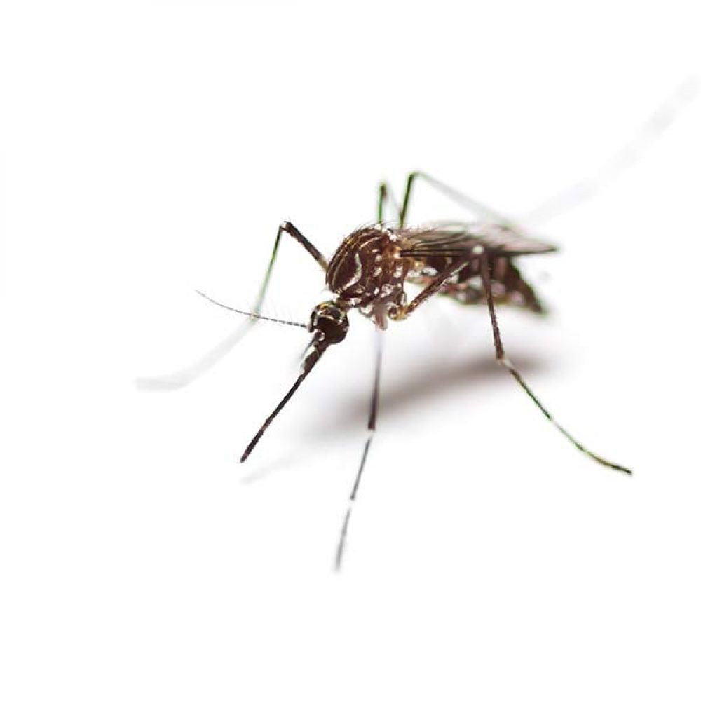 mosquito extermination services provided by Pioneer Pest Management serving Portland OR Longview Vancouver WA