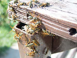 Professional wasp hornet nest removal services provided by Pioneer Pest Management serving Vancouver WA