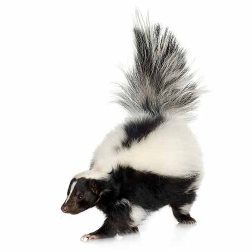 skunk removal and trapping Portland Oregon Vancouver Washington