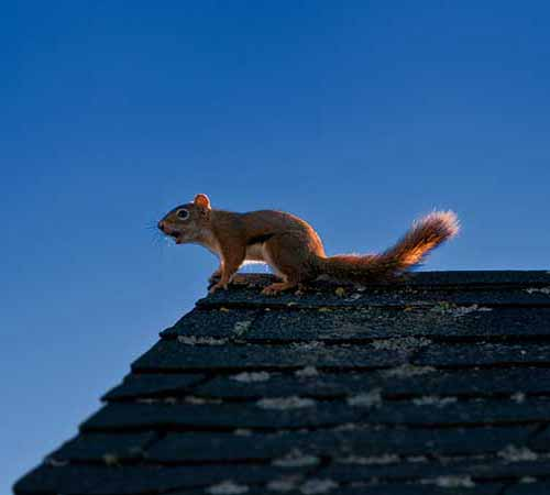 Squirrel trapping and removal exclusion in home attics Portland OR Vancouver WA