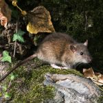 How to get rid of burrowing rats in Portland OR. Pioneer Pest Management rat extermination.