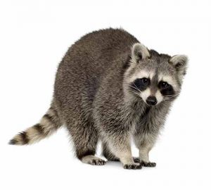 Raccoon removal trapping and exclusion Portland OR and Vancouver WA