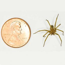 Recluse-Spider-to-scale-dorsal-web