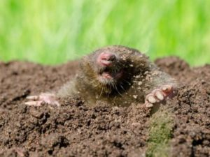 Mole control trapping extermination serving Portland OR