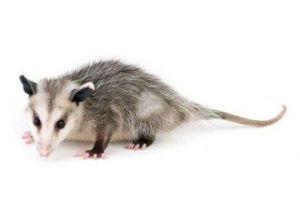 opossum control pioneer pest management portland or vancouver wa