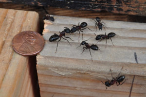 Why Do I Have Carpenter Ants in My Home? Pioneer Pest Management answers common questions about carpenter ants, and how to prevent them in Portland OR and Vancouver WA.