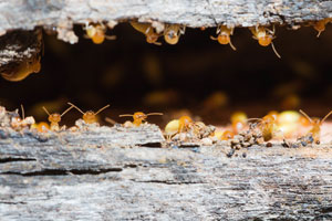 Subterranean Termite vs Dampwood Termite: Pioneer Pest Management answers common questions about termites, and how to prevent them in Portland OR and Vancouver WA.