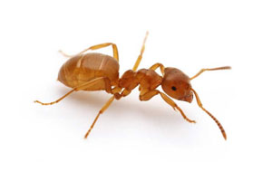 Those Flying Ants In Your Home Could Be Moisture Ants Ant Control