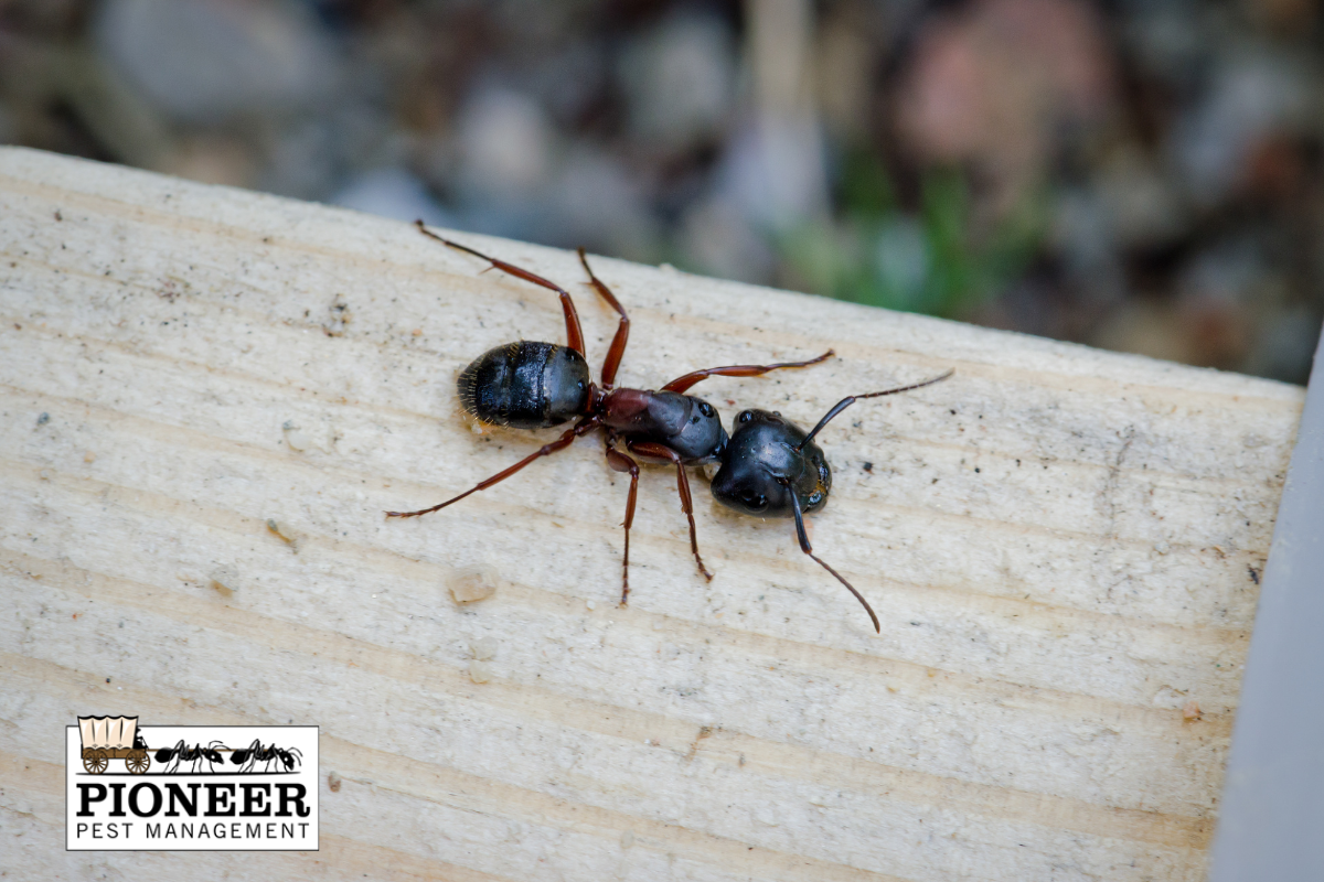 Up close look at a carpenter ant on a piece of wood. Pioneer Pest Management, serving Portland OR and Vancouver WA talks about how to get rid of carpenter ants.