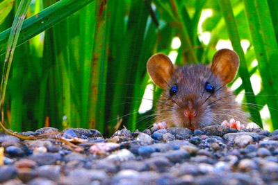 Pioneer Pest offers tips homeowners can use to keep rodents away this winter.