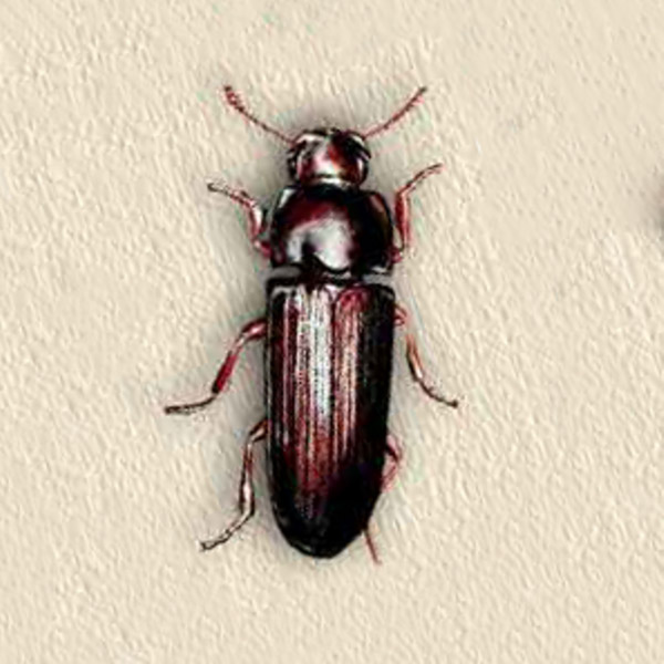 Confused Flour Beetle. Indian meal Moth. Pioneer Pest Management outlines 7 Tips to Prevent Pantry Pest This Holiday Season nin your Portland OR and Vancouver WA home