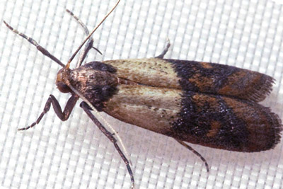 Indianmeal Moth. Pioneer Pest Management talks about pantry pests and how to help prevent them in your Portland OR and Vancouver WA home