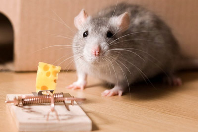 Mouse next to mouse trap and cheese. Pioneer Pest Management mentions 10 tips to setting a mouse trap in Portland OR and Vancouver WA.