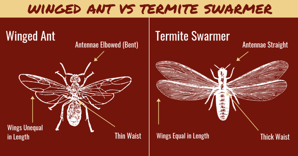 Diagram showing the differences between termites and flying ants. Pioneer Pest serving Portland OR and Vancouver WA talks about the differences between flying ants and termites.