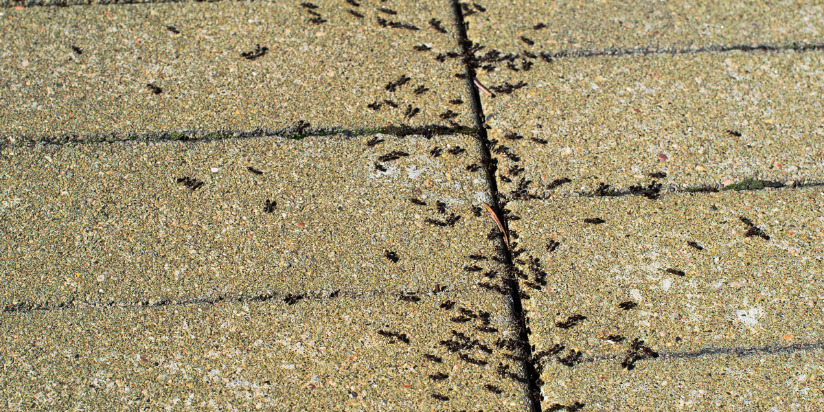 Group of pavement ants on pavement. Pioneer Pest Management serving Portland OR & Vancouver WA talks about how to help prevent a pavement ant infestation.