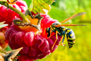 Up close image of a wasp on a raspberry. Pioneer Pest Management serving Portland OR and Vancouver WA talks about if your edible garden is attracting pests.