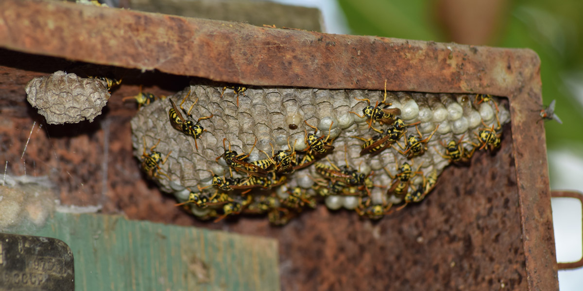 Wasps in a nest. Pioneer Pest Management serving Portland OR and Vancouver WA talks about yellow jackets and hornets and how you can help prevent them.