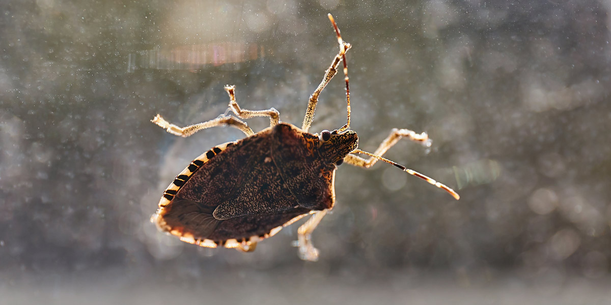 Stink bug on a window. Pioneer Pest Management serving Portland OR & Vancouver WA talks about active pests in the fall.