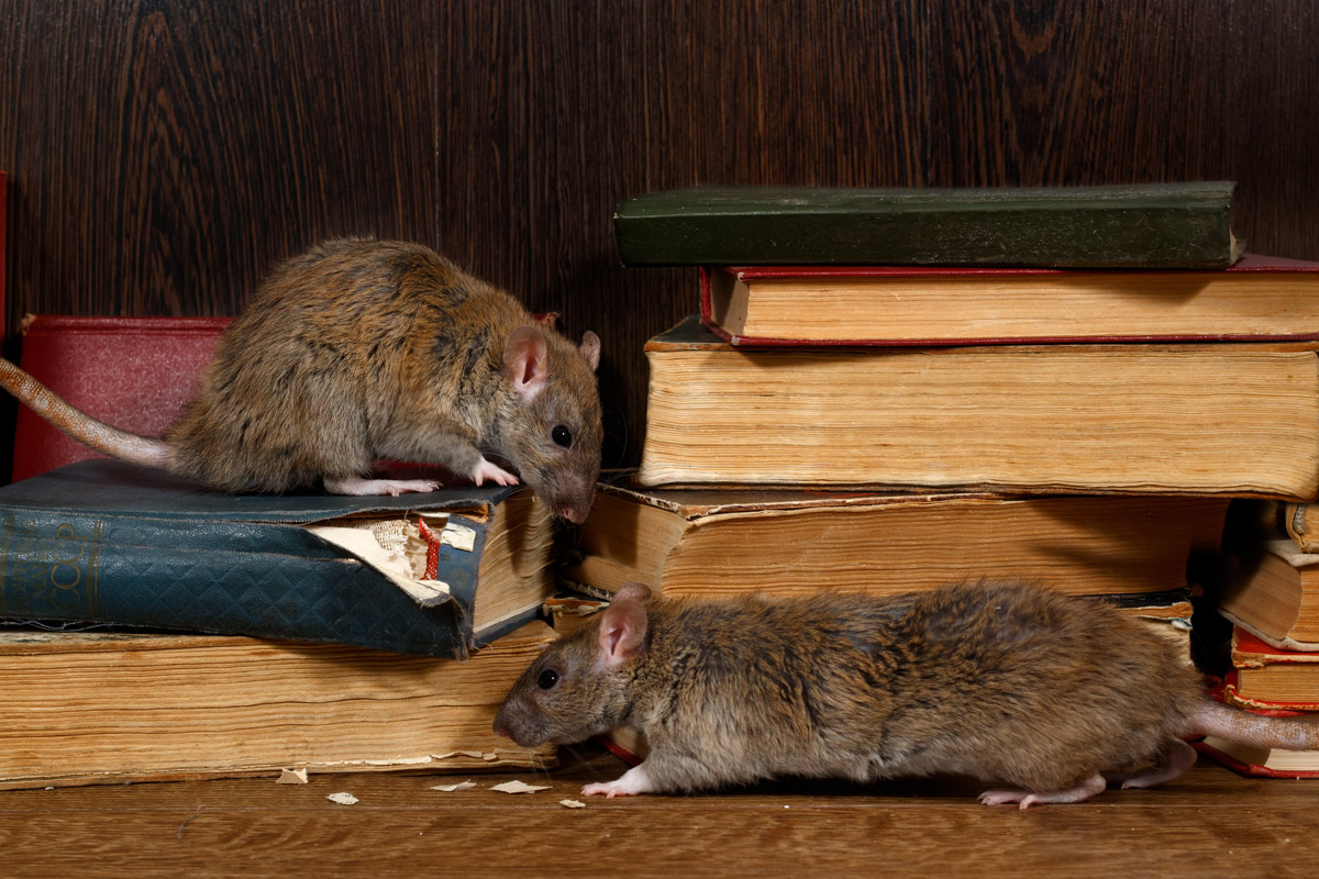 Close up of two rats on books. Pioneer Pest Management, serving Portland OR & Vancouver WA talk about the damage rodents can cause.