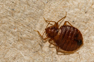 Up close look at bed bug. Pioneer Pest Management, serving Portland OR & Vancouver WA talks about the horrific realties of bed bugs.