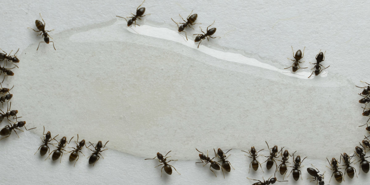 Up close look at ants and wet substance. Pioneer Pest Management talks about how to help keep odorous house ants out of your Portland OR or Vancouver WA home.