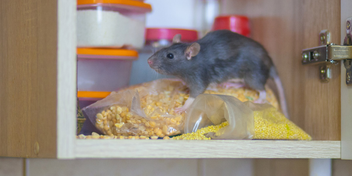 Rodent in cupboard. Pioneer Pest Management serving Portland OR & Vancouver WA talks about 5 rodent prevention tips for homeowners.
