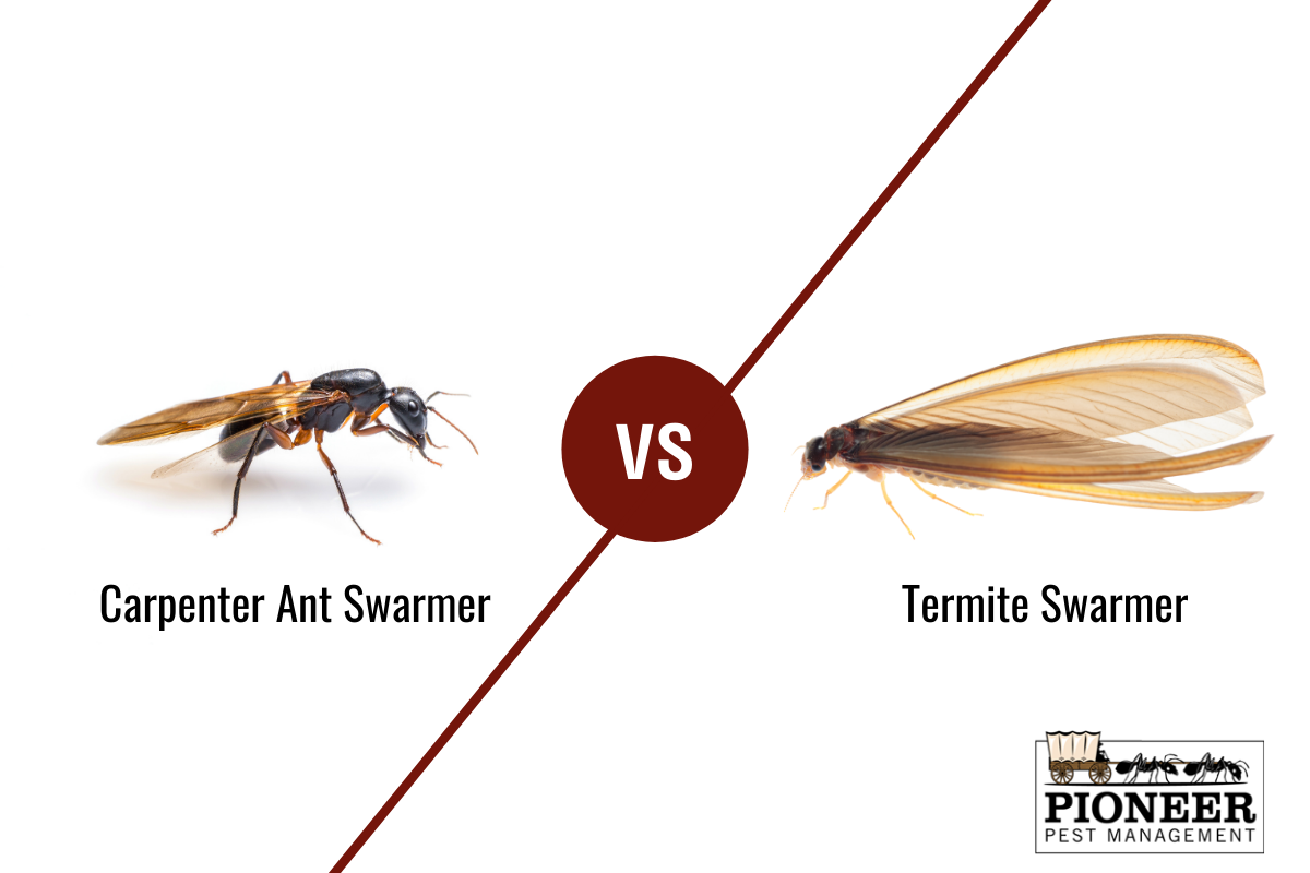 A comparison of a carpenter ant swarmer and a termite swarmer. Pioneer Pest Management, serving Portland OR & Vancouver WA talks about the differences between termites and carpenter ants.