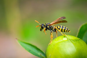 Paper Wasp on a fruit.