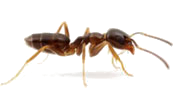 Odorous House Ant Removal and Exterminators - Vancouver Camas Longview Portland OR WA