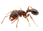 Pavement Ant Removal and Exterminator - Vancouver Camas Longview Portland OR WA
